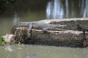 Arugambay River Corner Crocodile